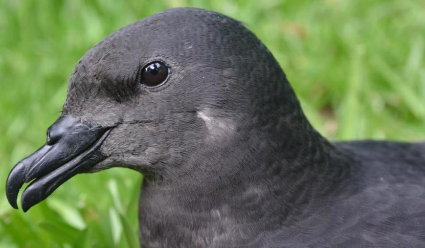 Pétrel noir de bourbon_Parc national de La Réunion - Benoît Lequette